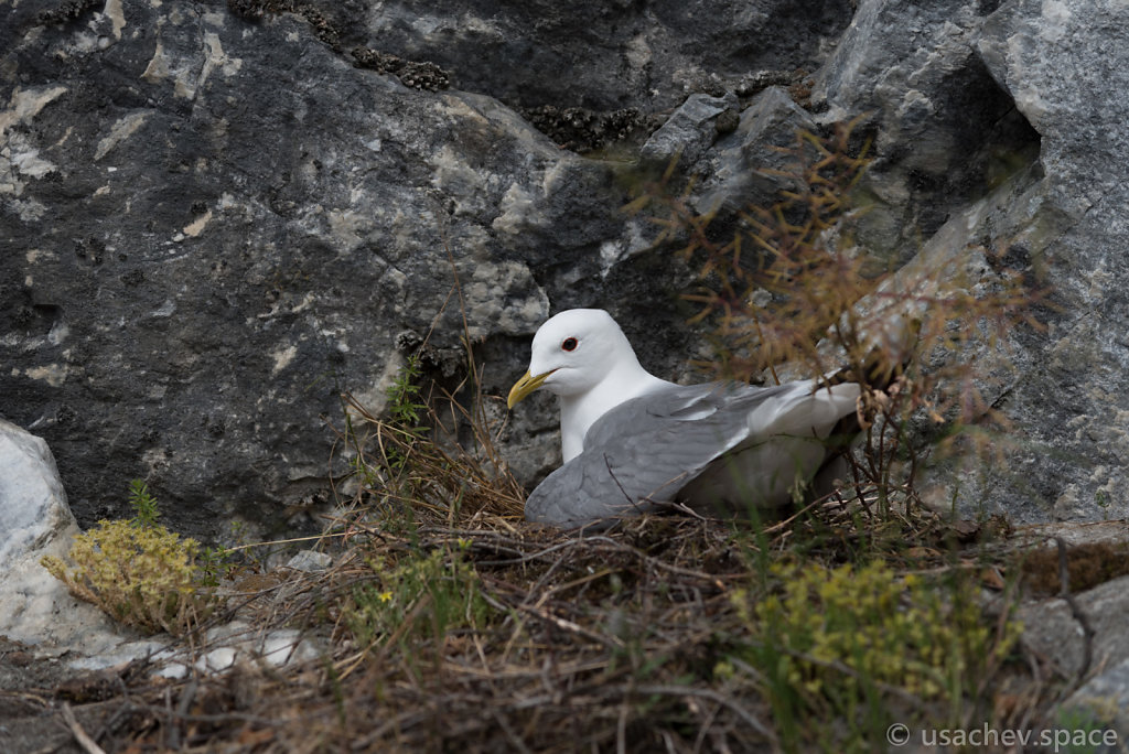 The common gull (Larus canus)